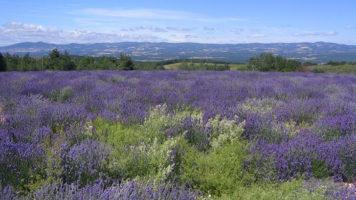 French Lavender field, SAPAD France
